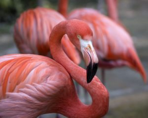 Flamingo benefits from Spirulina