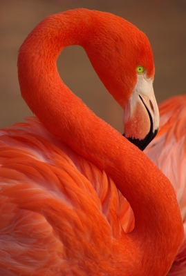The color of flamingo comes from Spirulina pigments